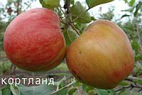 Саженцы яблони осеннего срока созревания. Кортланд