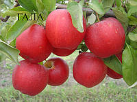 Саженцы яблони осеннего срока созревания. Гала