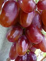 Саженцы винограда ВИКТОР
