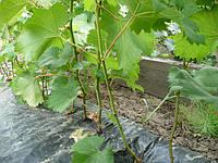 Саженцы винограда ПРЕОБРАЖЕНИЕ, ЛИВИЯ , АНЮТА