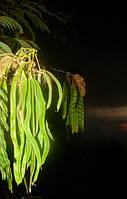 Семена морозостойкой альбиции ленкоранскойй