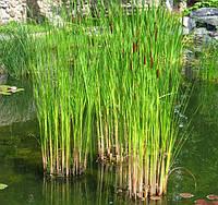 Рогоз узколистый для посадки в пруд