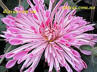 Корейская хризантема ЛИНДА