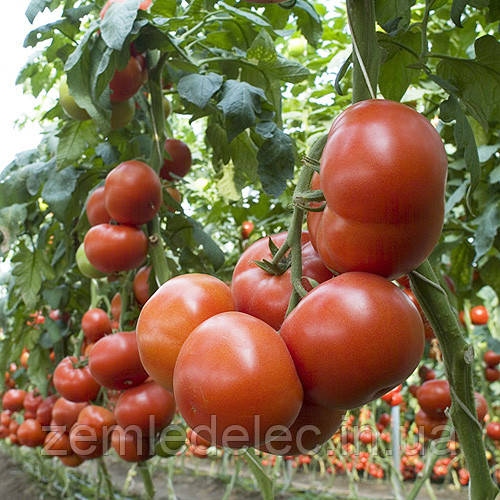 Семена томата Матиас F1 1000 сем. Seminis