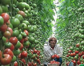 Выращивание в теплице 10