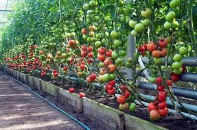 Выращивание в теплице 11