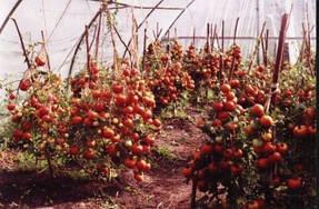 Выращивание в теплице 12