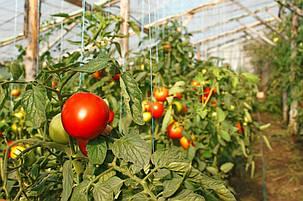 Выращивание в теплице 13