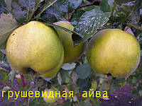 Саженцы плодовых деревьев айвы грушевидной оптом. От производителя. Мариуполь. Мой сад. Пром уа