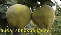 Саженцы плодовых деревьев айвы яблоковидной оптом. От производителя. Мариуполь. Мой сад. Пром уа