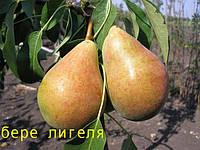 Саженцы плодовых деревьев груша осенняя Бере Лигеля, от производителя, мой сад пром уа карликовые