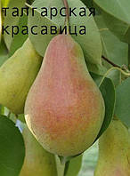 Саженцы плодовых деревьев груша осенняя Талгарская красавица. от производителя, мой сад пром уа высокорослые
