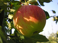 Саженцы яблони зимнего срока созревания  Кортланд