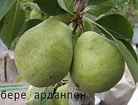 Саженцы плодовых деревьев груши зимней, Бере Арданпон. качественные