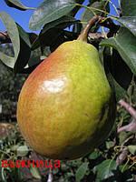 Саженцы плодовых деревьев груши зимней, Выжница, семечковые, хорошие