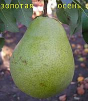 Саженцы плодовых деревьев груши зимней, Золотая осень, семечковые, хорошие, классные