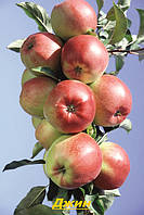 Саженцы плодовых деревьев, колоновидных яблонь летних, Джин, от производителя мой сад