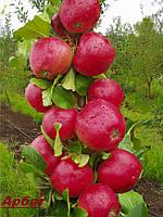 Саженцы плодовых деревьев, колоновидных яблонь осенних, арбат, от производителя саженцы мареуполя