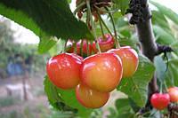 Саженцы плодовых ягодных деревьев черешни, Дончанка, от производителя мой сад