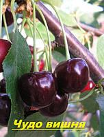 Саженцы плодовых ягодных деревьев вишни, Чудо вишня, от производителя, мой сад