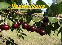 Саженцы плодовых ягодных деревьев вишни, Чернокорка, от производителя, мой сад