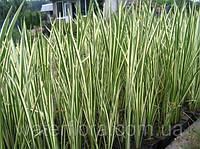 Аир обыкновенный Пестролистный - Acorus calamus Variegatus (вторая ц.г.)