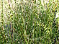 Голосхенус обыкновенный - Holoschoenus vulgaris (вторая ц.г.)