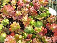 Дармера болотная - Darmera peltata (вторая ц.г.)