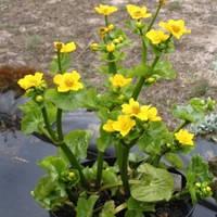 Калюжница болотная Ауенвальд(желтая,высокая) - Caltha palustris Auenvald (вторая ц.г.)