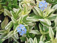 Незабудка болотная Пестролистная - Myosotis palustris Variegata  (вторая ц.г.)