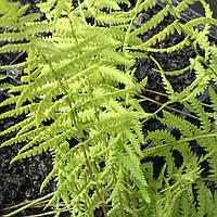 Папоротник болотный - Thelipteris palustris (вторая ц.г.)