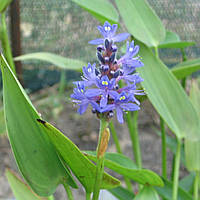 Понтедерия сердцевидная - Pontederia cordata (вторая ц.г.)
