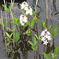 Вахта трехлистная - Menyanthes trifoliata (вторая ц.г.)