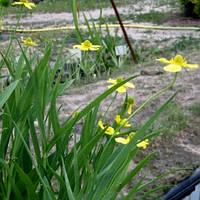Лютик узколистный Грандифлора - Ranunculus lingua Grandiflora (вторая ц.г.)