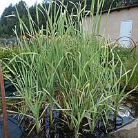 Рогоз широколистный Вариегата - Typha latifolia Variegata (вторая ц.г.)