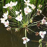 Сусак зонтичный - Butomus umbellatus (вторая ц.г.)