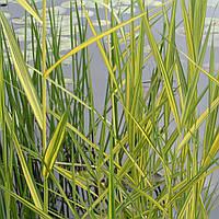 Тростник австралийский Вариегатус - Phragmites australis Variegatus (вторая ц.г.)