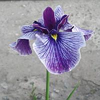 Ирис мечелистный Мармуроа - Iris ensata Marmuroa (вторая ц.г.)