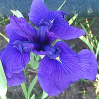 Ирис мечелистный Лоялти - Iris ensata Loyalti (вторая ц.г.)