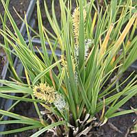Осока темная Пестролистная - Carex nigra Variegata (вторая ц.г.)