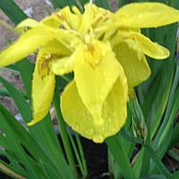 Ирис аировидный Флорэ Плена, махровый - Iris pseudacorus Flore Plena (вторая ц.г.)