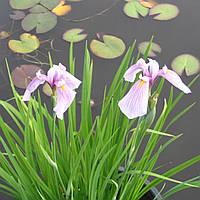 Ирис гладкий Розэ Куин - Iris laevigata Rose Queеn Глубоководное, взрослое растение, 50, 30-50, Б-В, 6, Голые корни, Зеленый, Синий