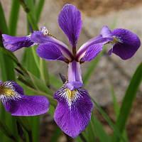 Ирис разноцветный Дарк Аура - Iris versicolor Dark Aura (вторая ц.г.)