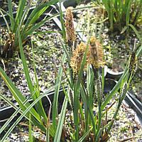 Осока темная - Carex nigra (вторая ц.г.)