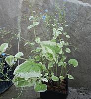 Бруннера Пестролистная - Brunnera Variegata (взрослое растение)