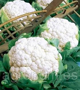 Семена цветной капусты Фридом F1 1000 семян Seminis