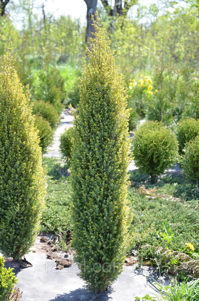 Можжевельник обыкновенный Голд Коне Р9 ( Juniperus communis Gold Cone )