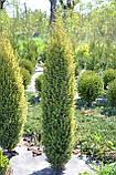Ялівець звичайний Голд Коні L2 ( Juniperus communis Gold Cone ), фото 2