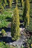 Ялівець звичайний Голд Коні L2 ( Juniperus communis Gold Cone ), фото 3
