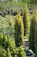 Можжевельник обыкновенный Голд Коне L2 ( Juniperus communis Gold Cone )